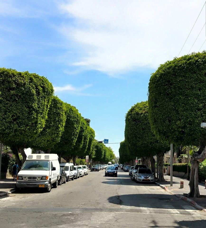 שדירת העצים ביפה ברחוב חנקין